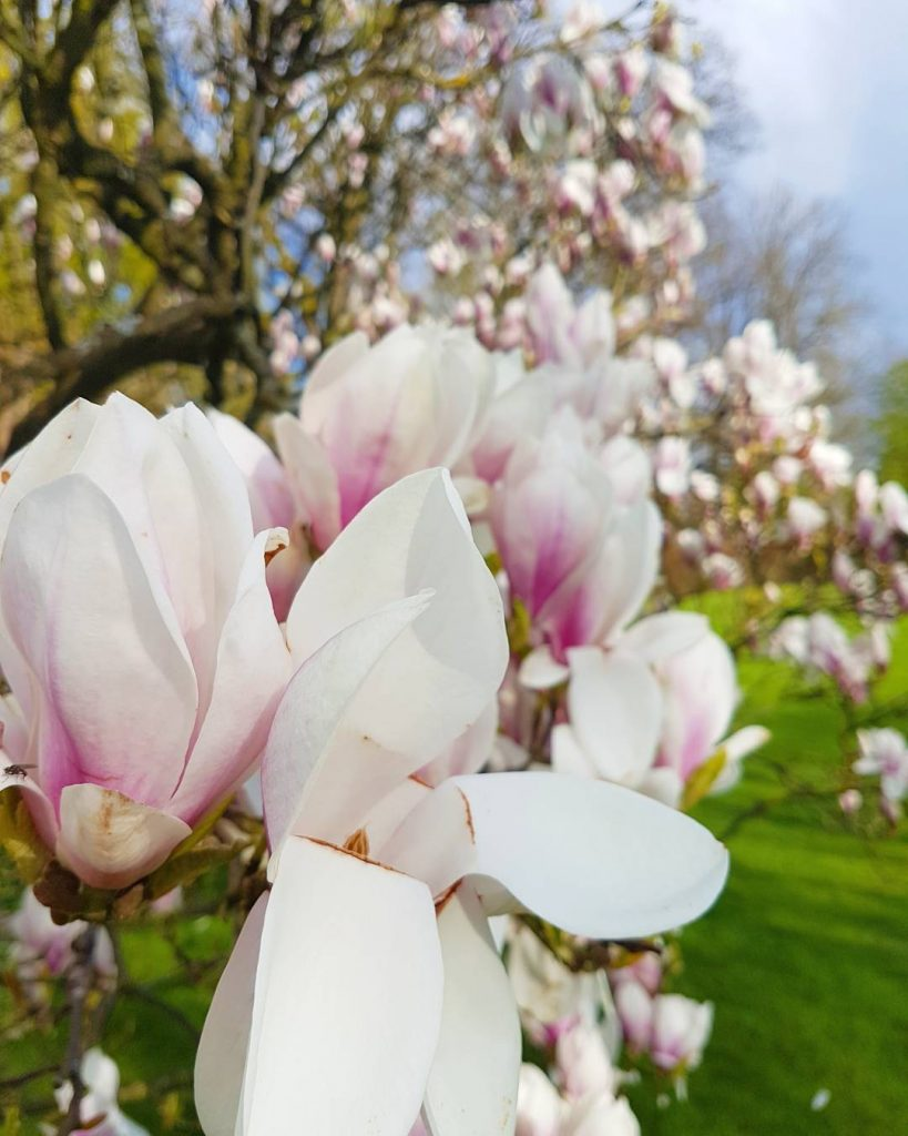 Magical Pink! Why is the magnolia flowering so short? Ihellip