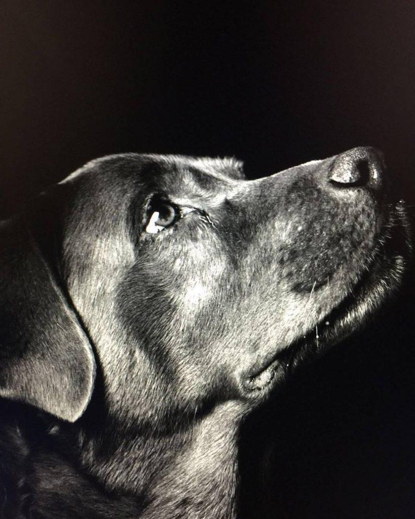 The best photo of Franz my beloved labrador was madehellip